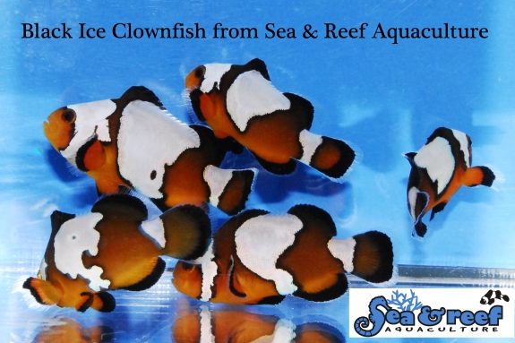 Black Ice Clownfish Group