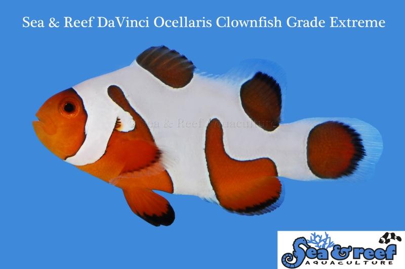 DaVinci Clownfish Grade Extreme