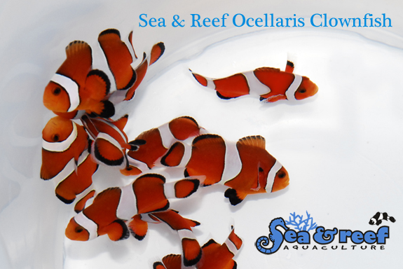 SR-Ocellaris-Clownfish-Group