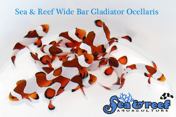 SR-Wide-Bar-Gladiator-Ocellaris-Group