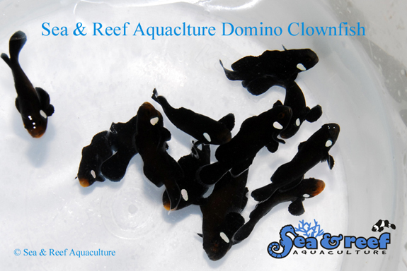 SR Domino Clownfish Group