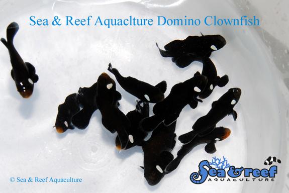 SR Domino Clownfish Group