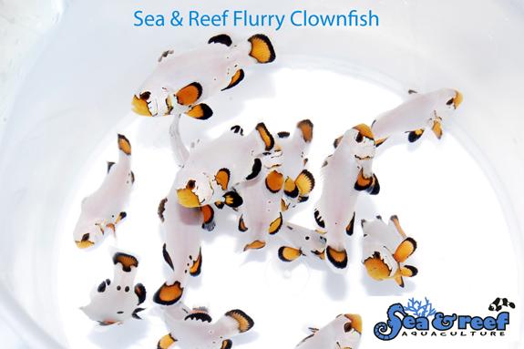 SR Flurry Clownfish group