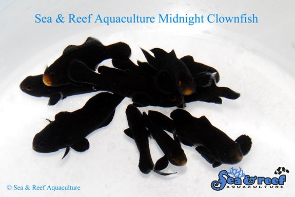 SR Midnight Clownfish Group