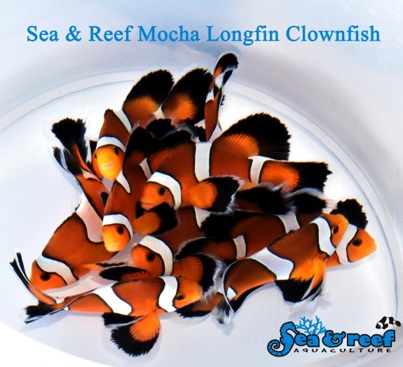 SR Mocha Longfin group
