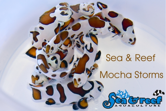 SR Mocha Storm Clownfish group