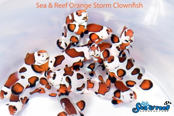 SR Orange Storm Clownfish group1