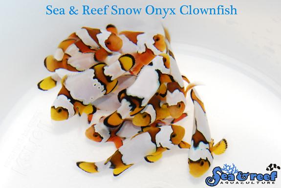 SR Snow Onyx group
