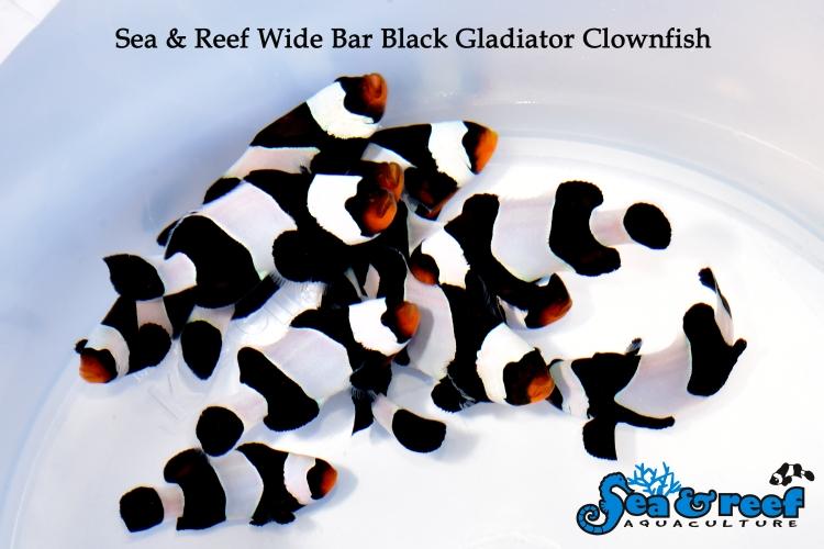 SR WB Black Gladiator