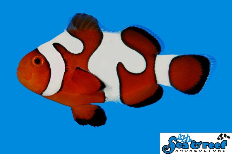 davinci-ocellaris-clownfish-grade-b