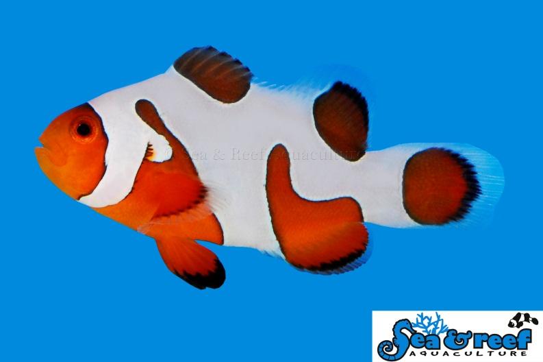 davinci-ocellaris-clownfish-grade-extreme