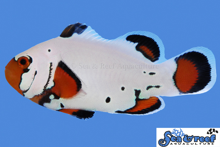 resized/s&r-frostbite-clownfish