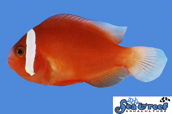 Sea & Reef - Barberi Clownfish