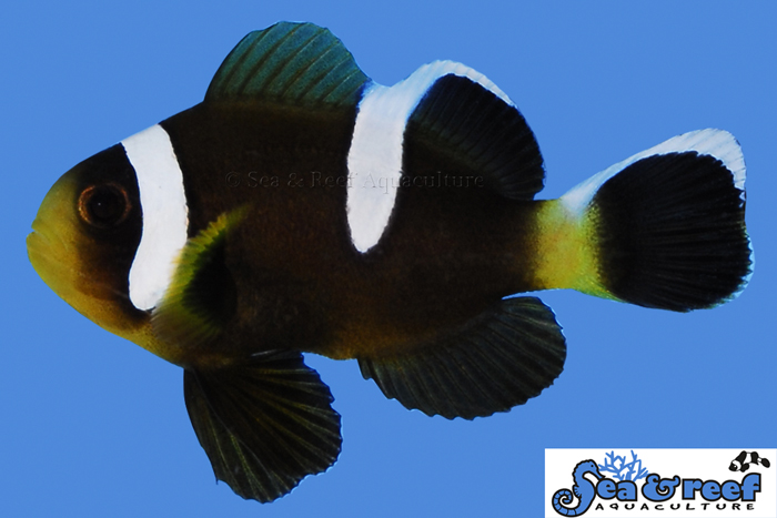 s&r-barrier-reef-clownfish