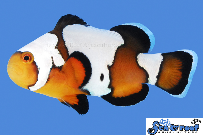 s&r-black-ice-clownfish