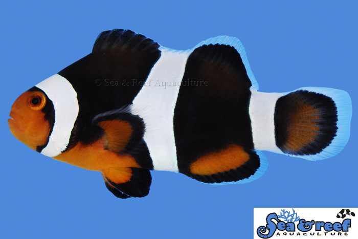 s&r-black-photon-clownfish