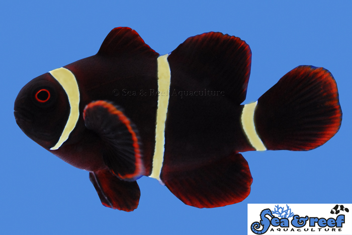 s&r-gold-stripe-maroon-clownfish