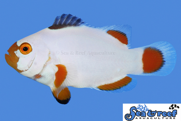 s&r-maine-blizzard-clownfish