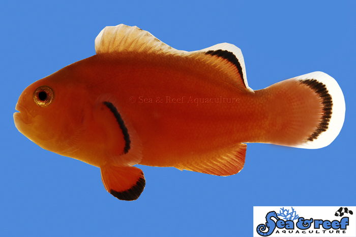 s&r-naked-clownfish