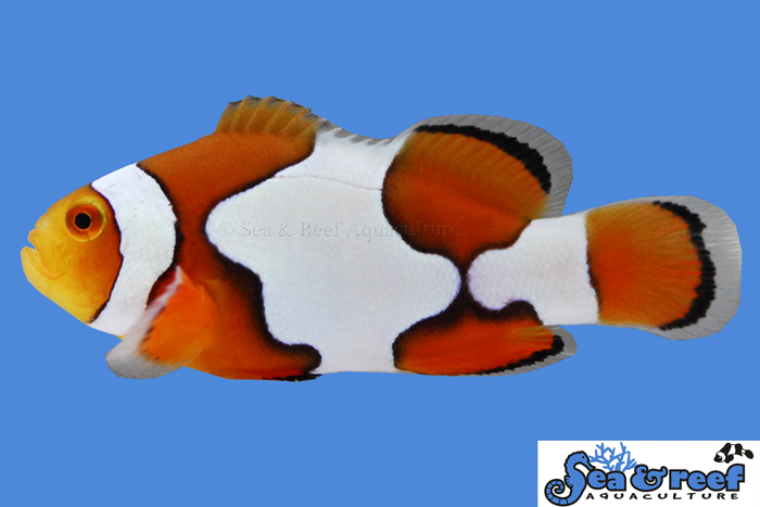 s&r-picasso-clownfish