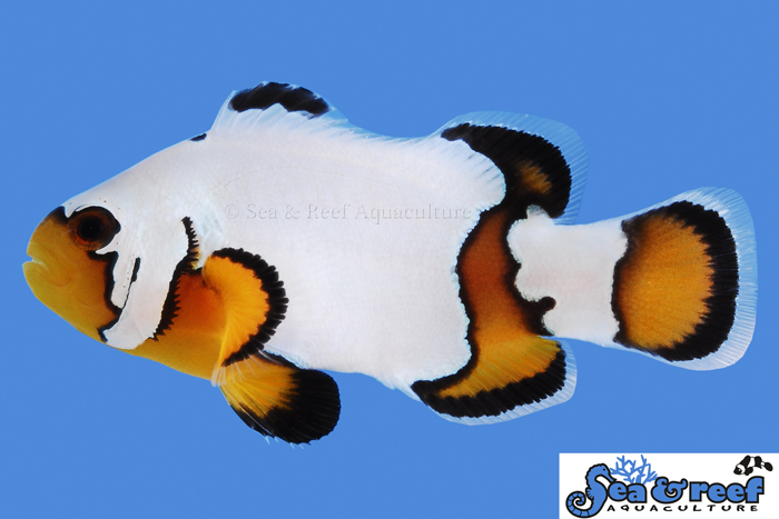s&r-premium-black-ice-clownfish