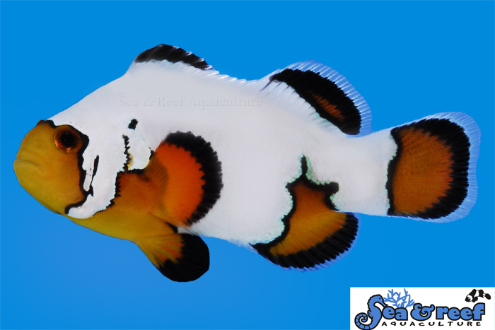 s&r-ultra-black-ice-clownfish