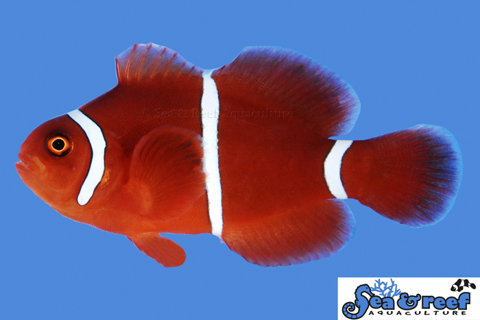 s&r-white-stripe-maroon-clownfish