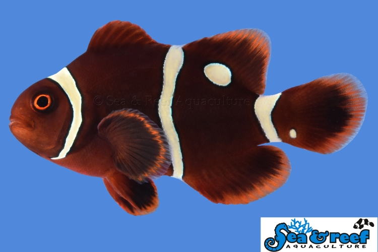 s&r_gold_dot_maroon_clownfish4