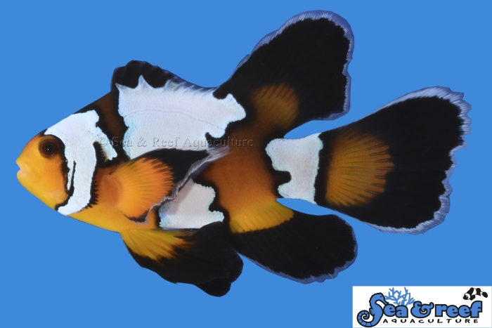 s&r_longfin_-black_ice_clownfish