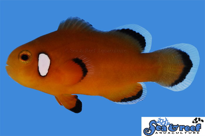 s&r_nearly_naked_clownfish3